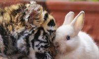 老虎、狮子与兔子和睦相处 真实版《疯狂动物城》